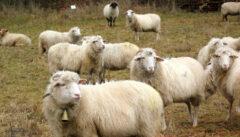 ... unter den interessierten Blicken der Juradistel-Schafe