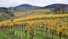 Wandern durch die Weinlandschaft am Kahlenberg