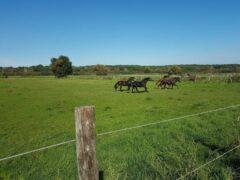 Pferdekoppeln inmitten des Tegeler Fließ