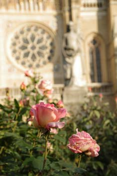 Rose vor Kathedrale