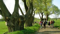 Riesige alte Weiden säumen den Weg nach Wojnowo.