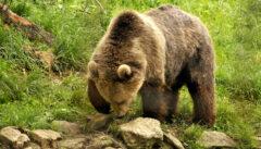 Ungefährliche aber eindrucksvolle Begegnung im Bärenreservat