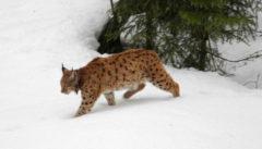 Nationalpark Bayerischer Wald Eine seltene Begegnung